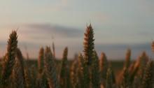 Les céréales OGM, créées pour être capables de résister aux herbicides, transmettent cette caractéristique aux ... mauvaises herbes!